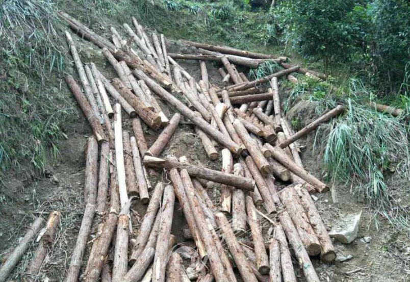 大溪乡重拳出击整治盗伐林木行为