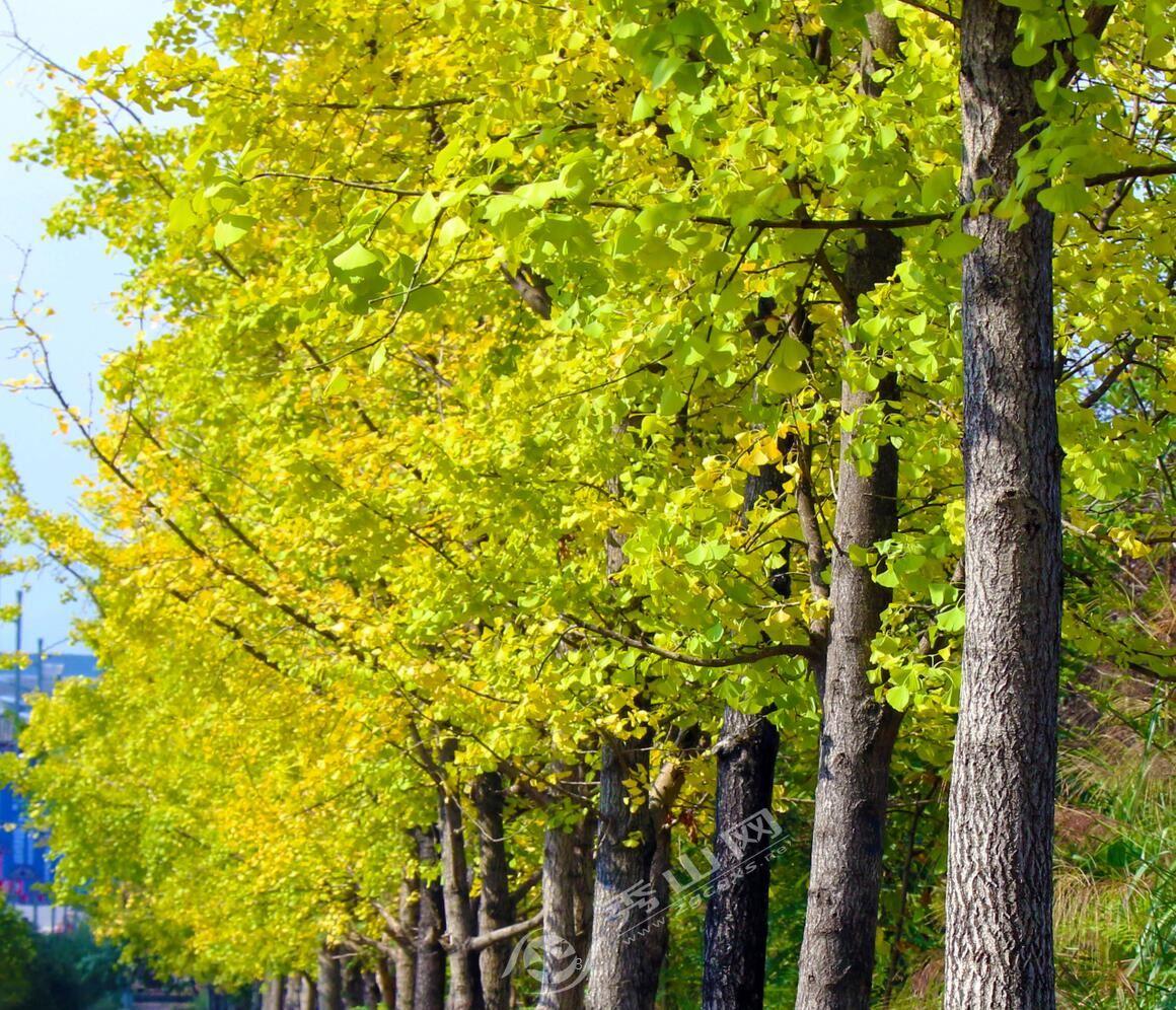 每到这个季节,银杏树叶一片金黄,市民们纷纷来到这里欣赏美丽的景色