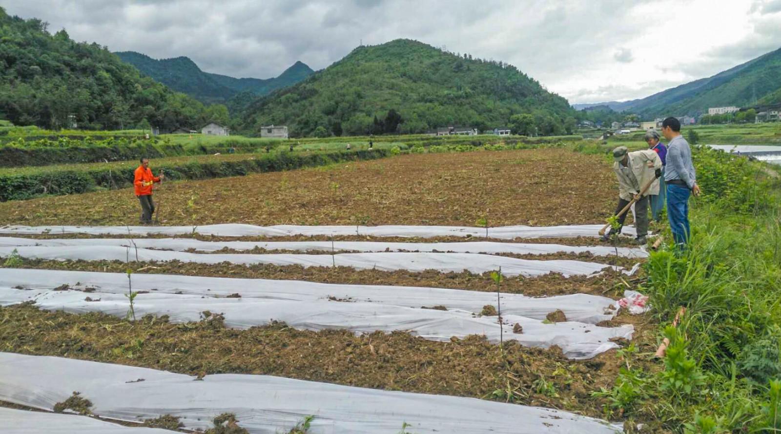 膏田镇:紫薯启苗移栽加快订单农业落地