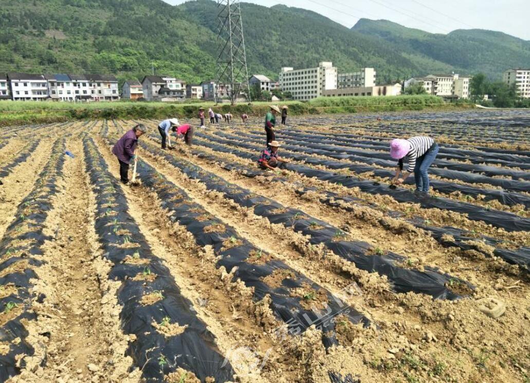 溶溪镇:辣椒种植基地正式定植